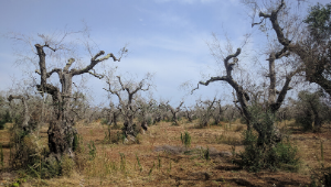 "1st International Workshop on: ""Xylella fastidiosa – diagnosis, control, and management measures"" 